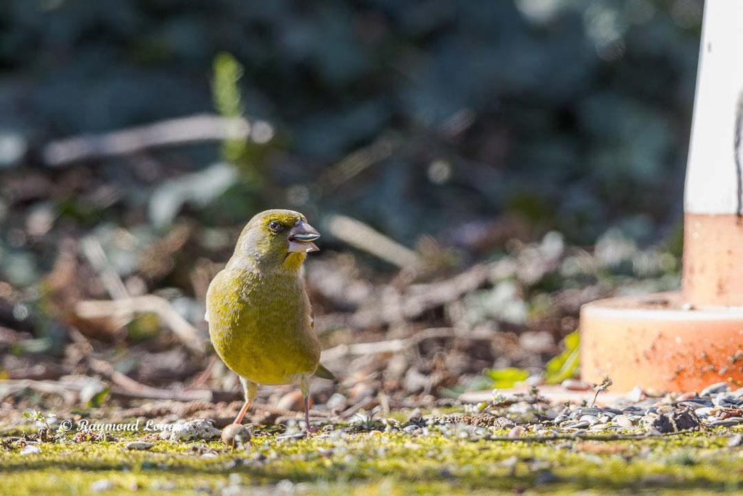 gruenfink beim fressen