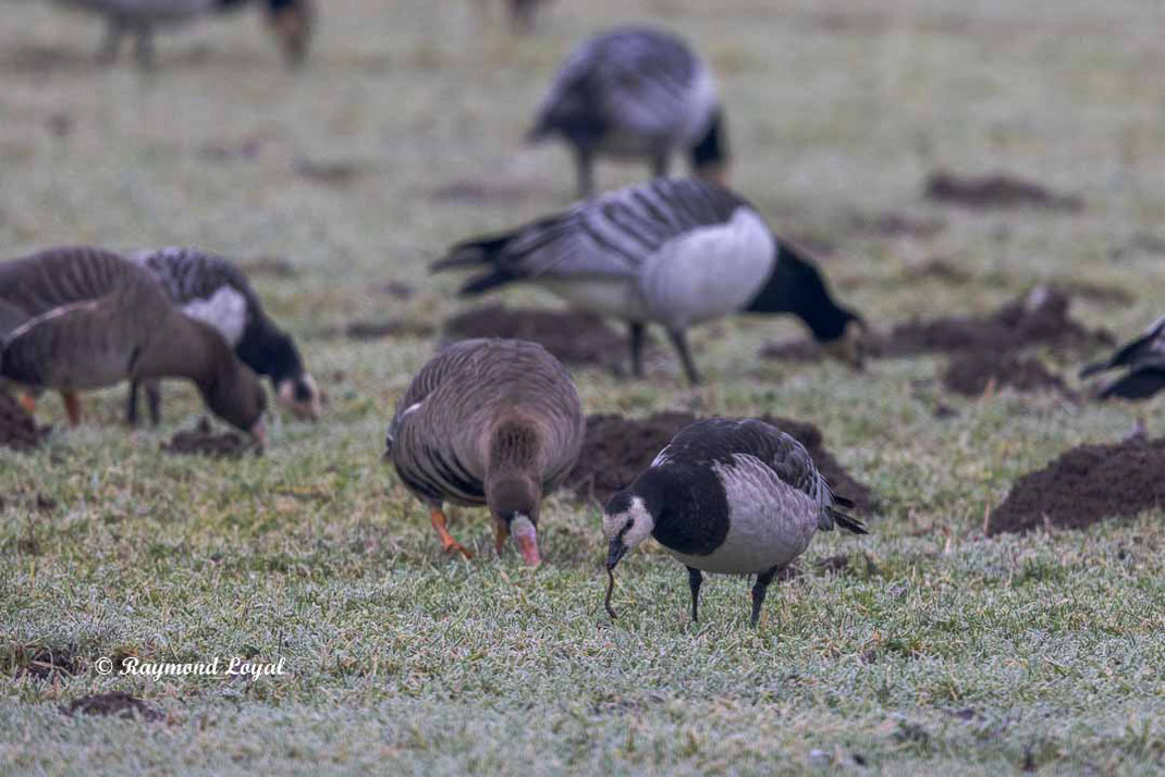 barnacle goose feeding on earthworm