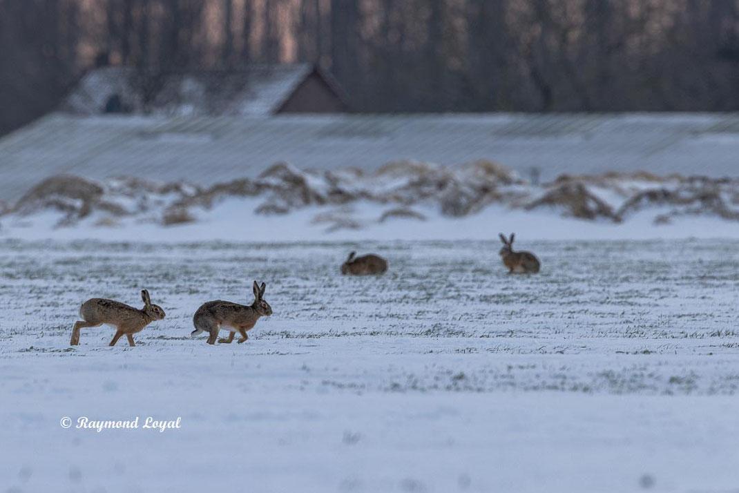 europeaan hare on snow field