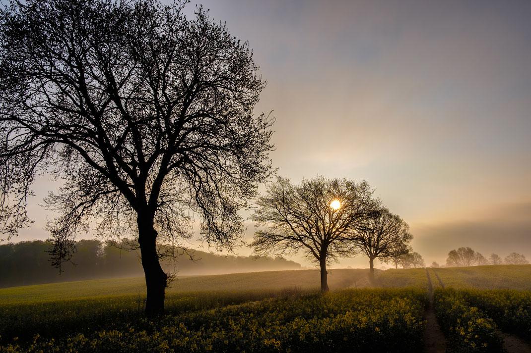 Rapsfeld nebel Sonnenaufgang kahle Bäume