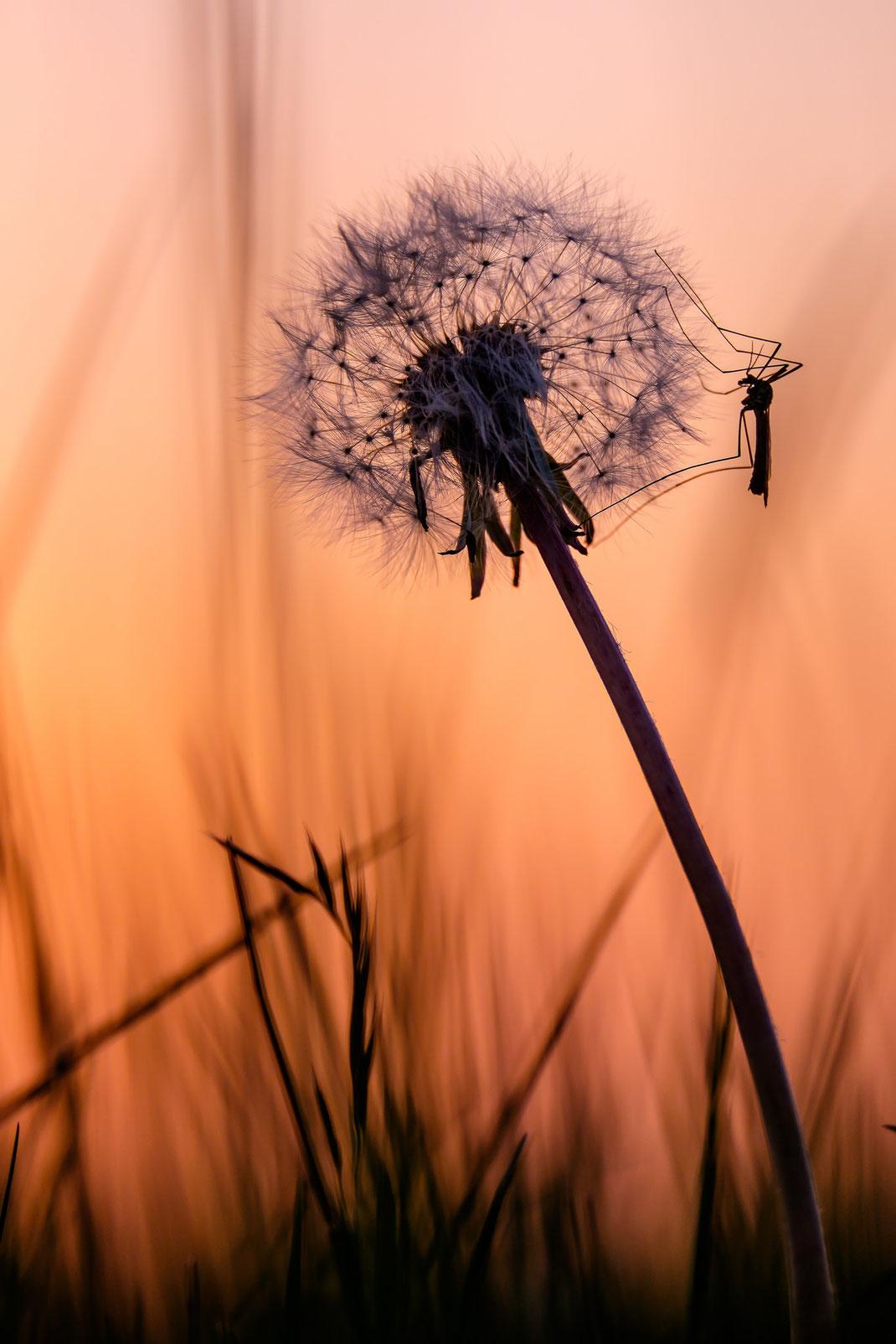 Pusteblume Sonnenuntergang Löwenzahn Mücke Schnake Abendrot