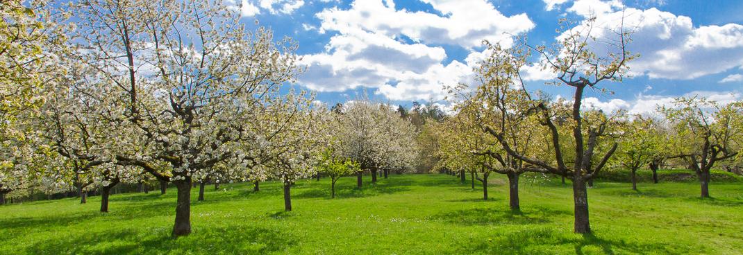 Obstplantage am Bodensee für unsere besonders aromatischen Obstbrände. Kirschwasser, Zwetschgenwasser, Obstler und Williams Christ.