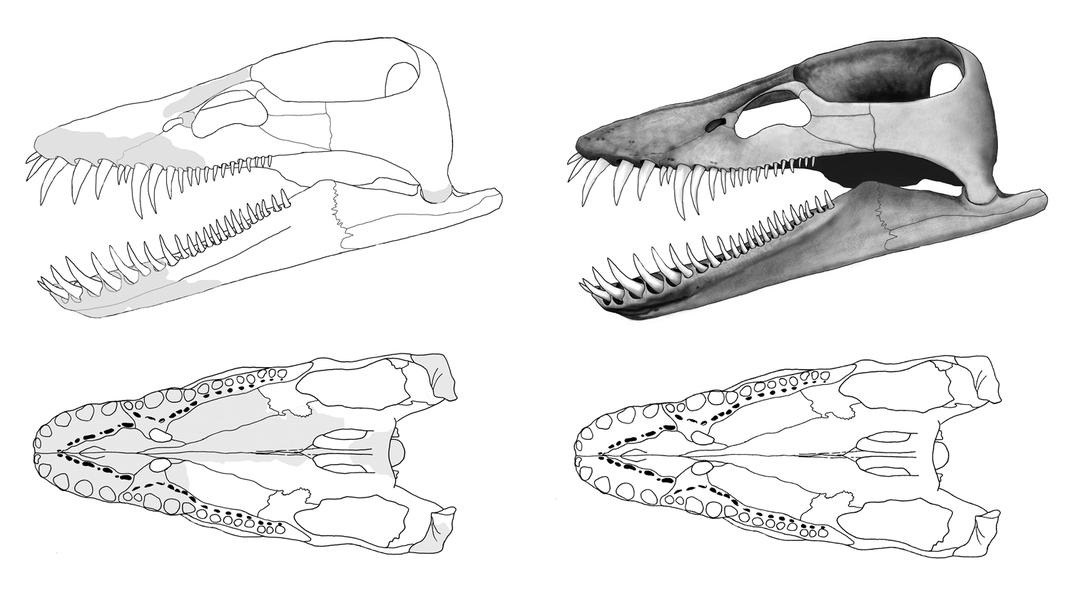 Lagenanectes skull reconstruction