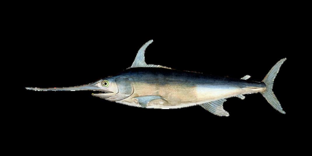 Schwertfisch,Espadarte,Fische,Martins Kulinarium,Carvoeiro,Algarve,Portugal,Mobile Kochschule