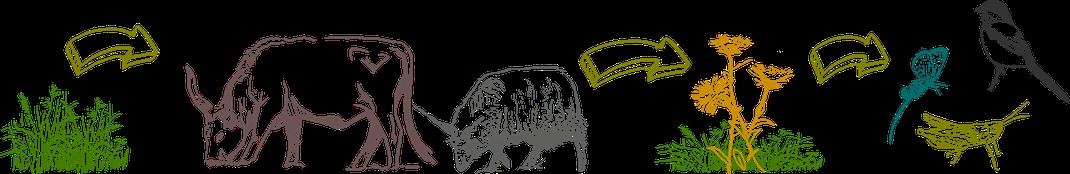 Entwicklung von Wiesen durch Beweidung /Grafik: S.Knöpfer