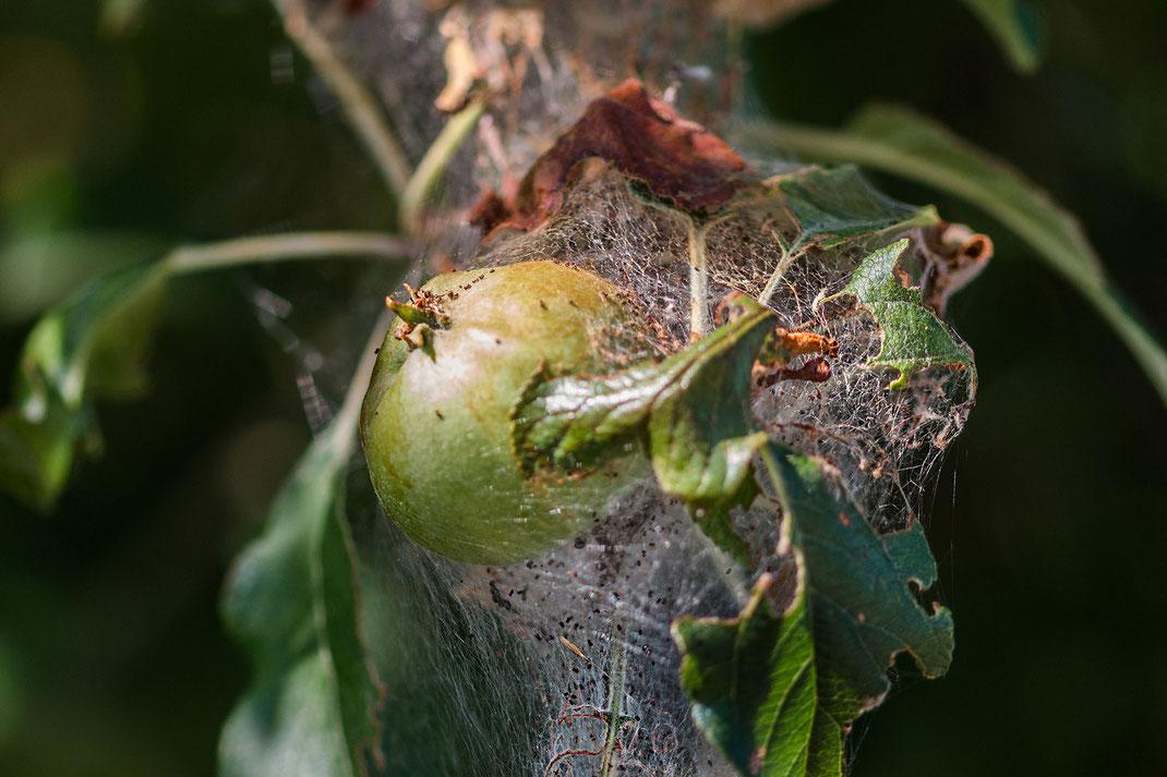 Apfelbaum mit Gespinnstmottenbefall - lizensfreie Bilder © Jutta M. Jenning