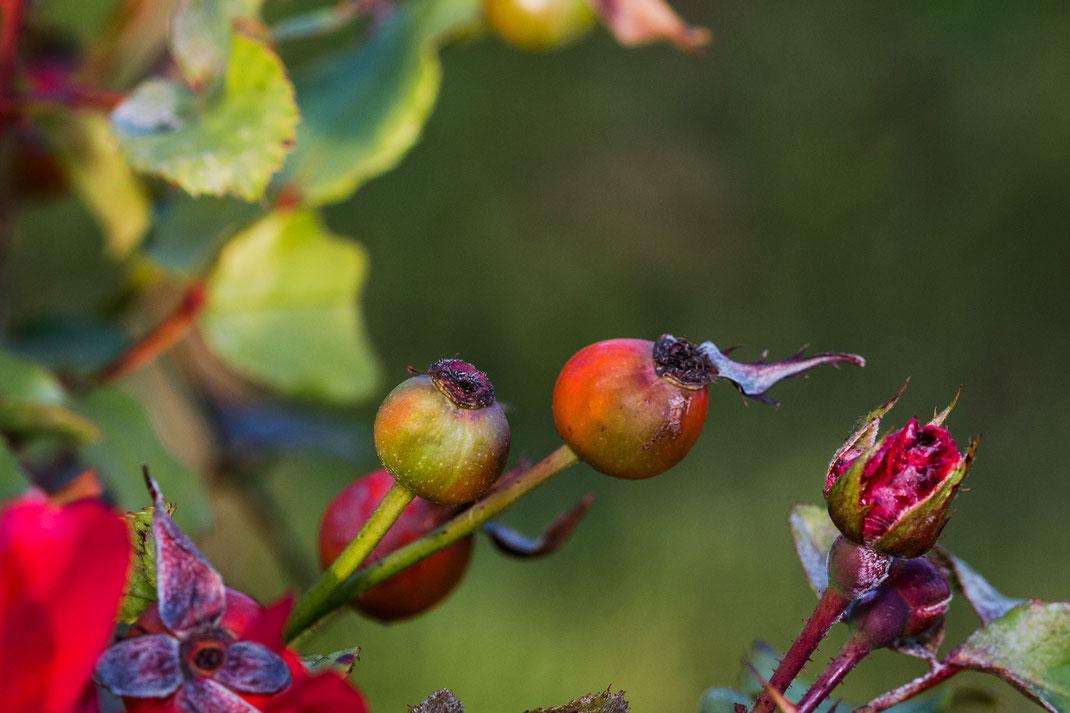 hagebutten-fruechte-der-rosen