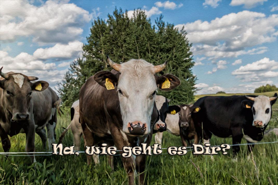 kuehe-auf-der-wiese-spruchkarte-grusskarte-wie-geht-es