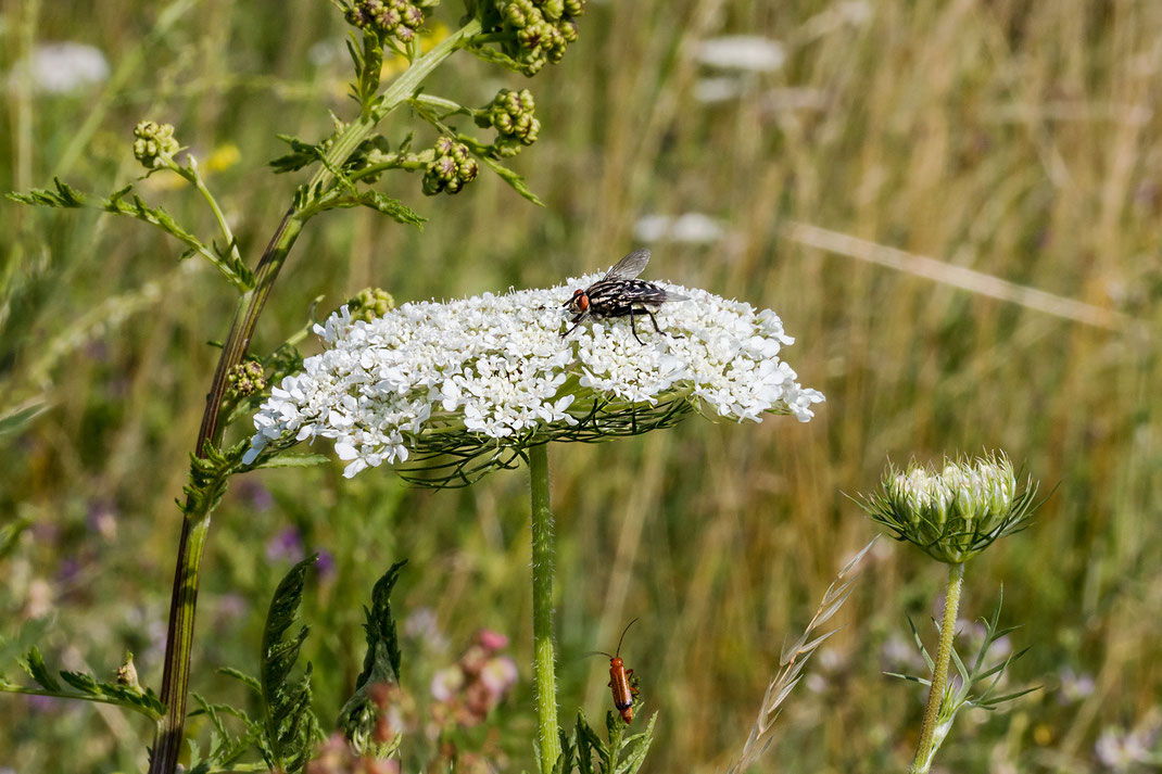 Fliege und kleiner Schmalbock sitzen an wilder Möhre in einer sommerlichen Blumenwiese