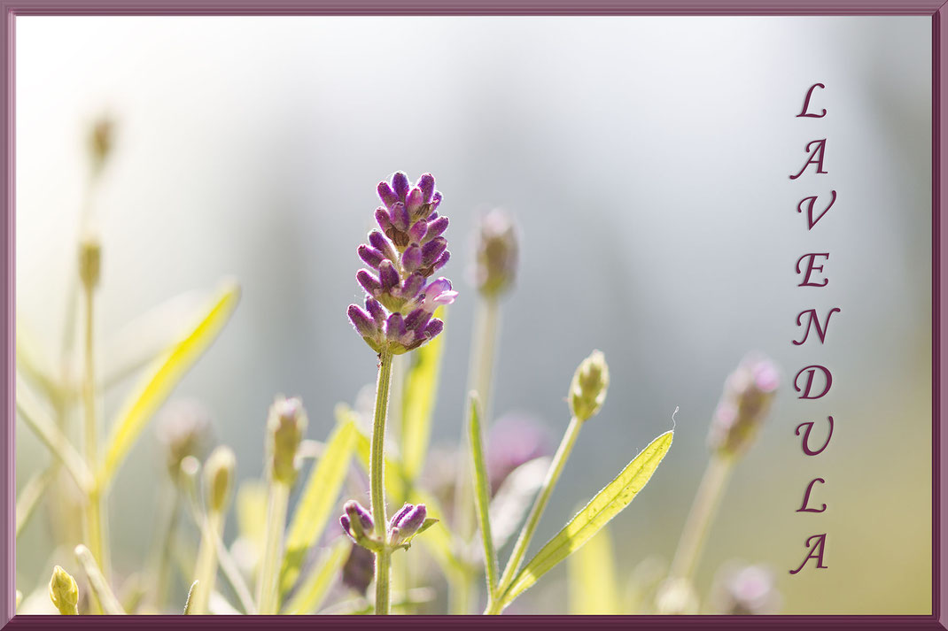 lavendel-lavendula-bluete-gerahmt