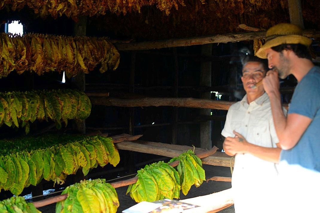 Dans la plantation - Feuilles de tabac qui sèchent