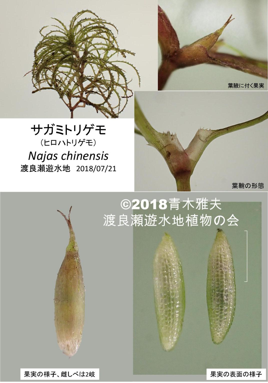 渡良瀬遊水地で採取されたサガミトリゲモ(ヒロハトリゲモ)の詳細画像