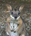 THE WALLABY more?
