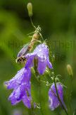Bienenart auf Glockenblume