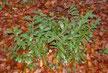 Kirschloorbeer (Prunus laurocerasus)