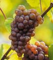 Pinot Gris Alsace Eber