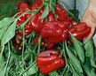 Paprika Quadrato d`Asti rosso Bild Reinsaat