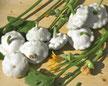 Kürbis Patisson Custard White, flacher Küebis mit weißer Farbe Bild Reinsaat