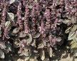 Basilikum Rosso mit roten Blättern und Blüten  Bild Reinsaat