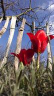 Brutus Boje Grellenkammer Tulpe Blume Frühling endlich Sonne Sonnenschein