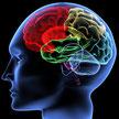 Illustratie van de hersenen