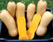 Kürbis Butternut Waltham länglicher Kürbis mit heller Schale und gelben Fruchtfleisch  Bild Reinsaat