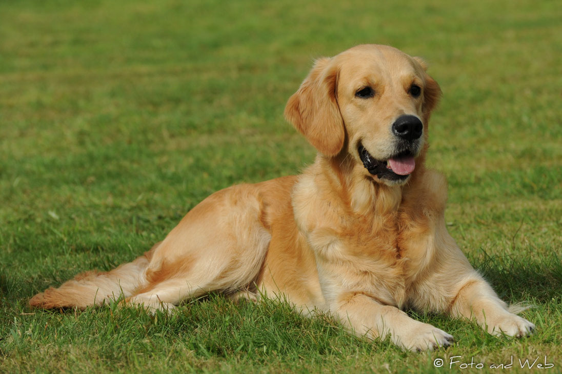 Sunshine Golden Retriever Welpen Solingen