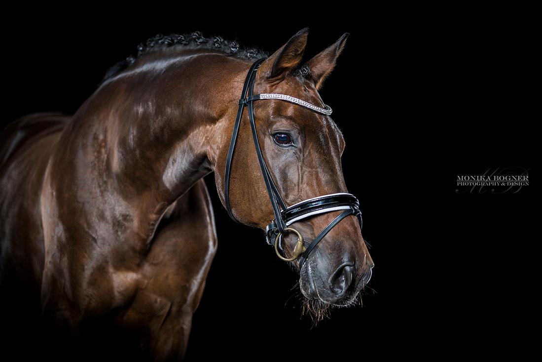 Pferde im Studio vor schwarzem Hintergrund