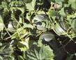 Zuckermelone Petit gris de Rennes mit Laubblättern