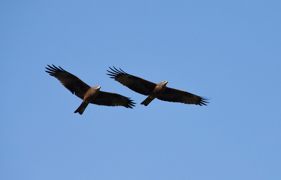 Black Kite Couple Wildlife at the Kuehkopf Nature Reserve, Rhine River, Hessen, Germany, 1280x818px