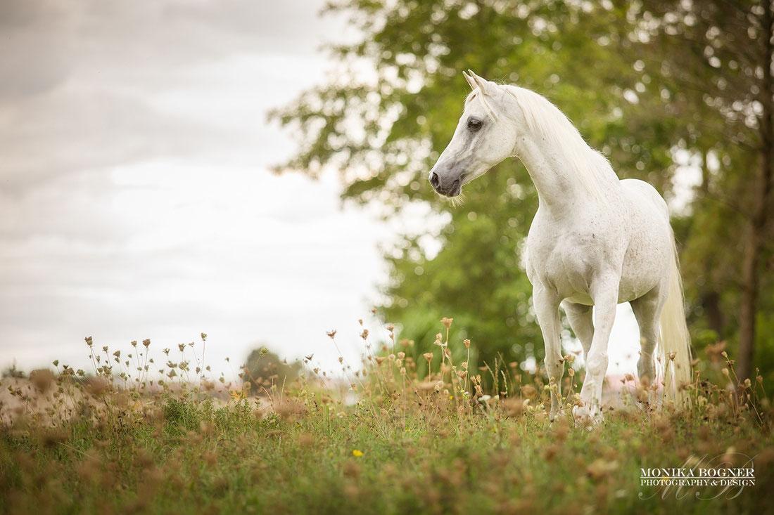 Araber Pferde Schimmel