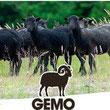 Groupement des Eleveurs de Moutons d'Ouessant