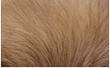 レッドポメラニアンは元祖の色。日本にも多く普及