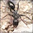 Cataglyphis piliscapus