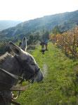 âne dans les vignes