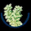 Berberis vulgaris / Sauerdorn, Berberitze
