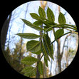 Grünholz entsteht aus Eschenzweig 4