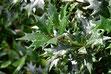 日陰に強い木 ヒイラギ