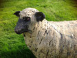 Moutons / Sheep