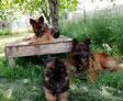 3 Bergers allemands noirs et feux une femelle assise sur une table, un mâle et un chiot couché autour de la table dans l'herbe par coach canin 16 educateur canin à angouleme
