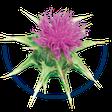 Carduus marianus / Mariendistel