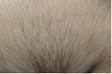 ウルフセーブルポメラニアンは狼のような風貌が売りです