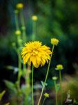 Rudbeckia laciniata-hoher gefüllter Sonnenhut