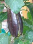 Melanzane Daniela: Walzenförmige Früchte. Foto Kirnstötter