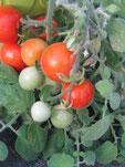 Fuzzy Wuzzy: Rote Tomate mit hellroten Streifen  Foto Bio Gärtnerei Kirnstötter