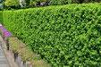垣根に適した木 キャラボク