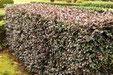 垣根に適した木 トキワマンサク
