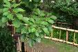 日陰に強い木 カクレミノ