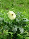 トロロアオイ 花付き