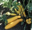Zucchini Gold Rush mit gelber Farbe Bild Reinsaat